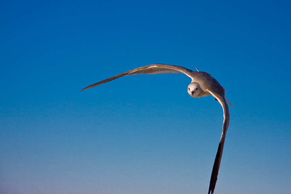 Seagulls 037
