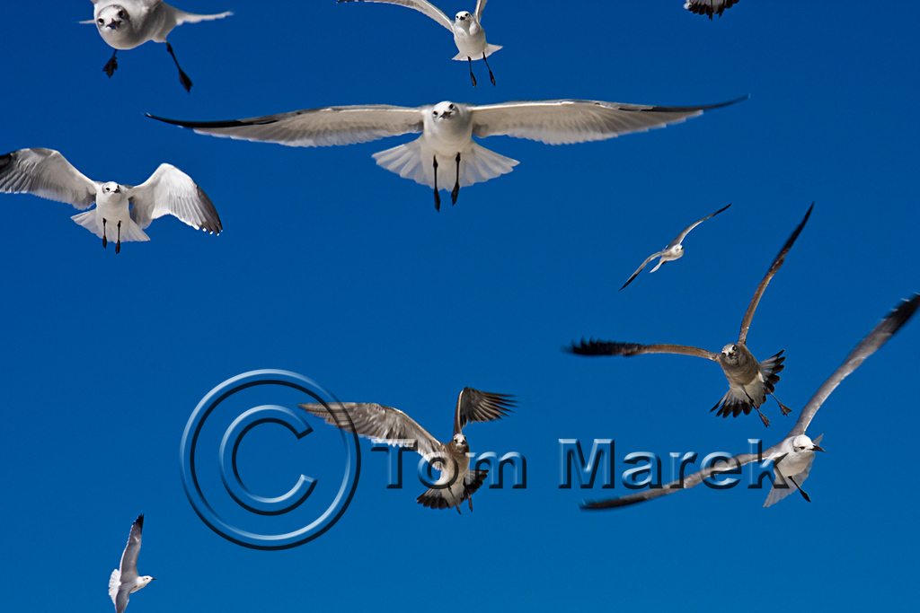 Seagulls 031