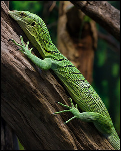 Green tree monitor, London Zoo