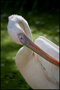 Eastern white pelican, London Zoo