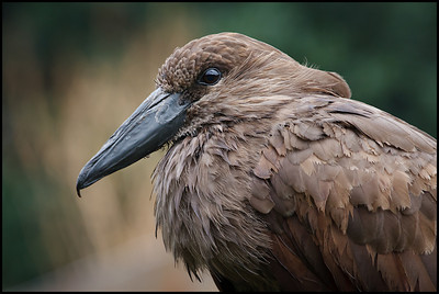 Hammerkop, London Zoo