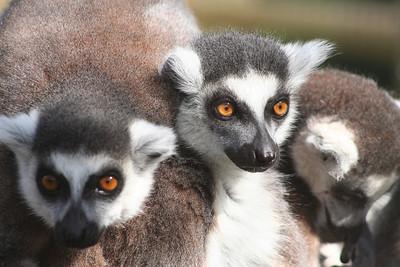 Lemurs, Woburn