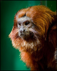 Golden headed lion tamarin, London Zoo