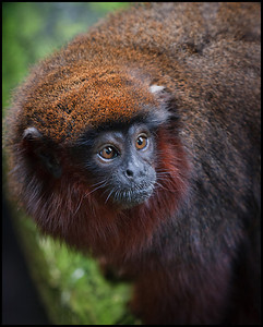 Red titi monkey, London Zoo