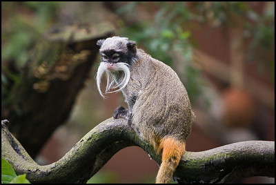 Emperor tamarin, London Zoo