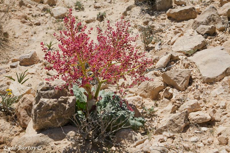 ריבס המדבר 2