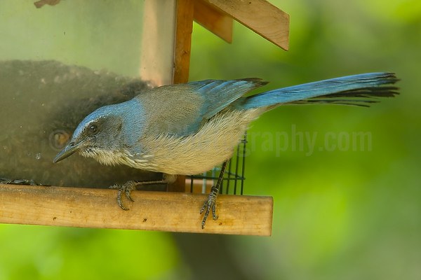 Woodhouse Scrub Jay at Feeder