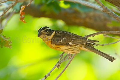 Black-headed Grosbeak (F)