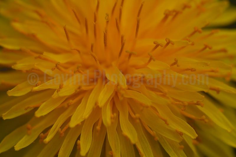 Dandilion Bloom