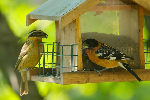 Blackheaded grosbeak pair at Feeder