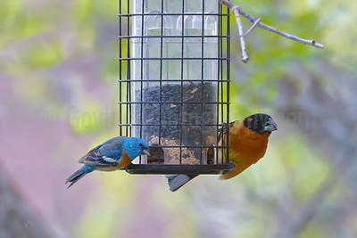 Lazuli Bunting and Black-headed Grosbeak