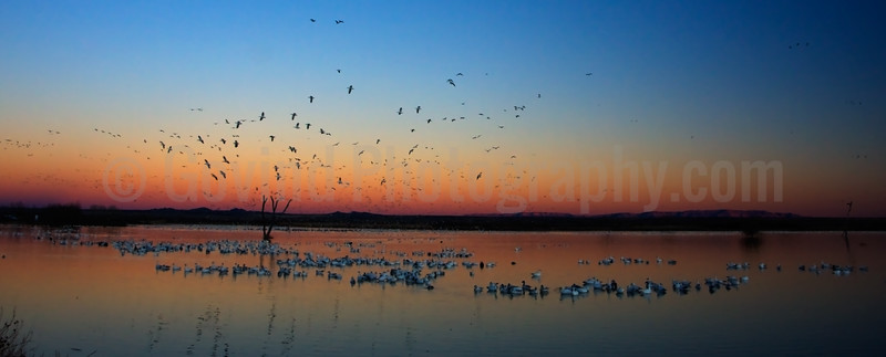 Snowgeese and Sandhill Cranes Flying in to Roost