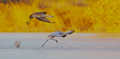 Sandhill Crane Pair Takeoff