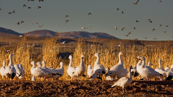Social Geese