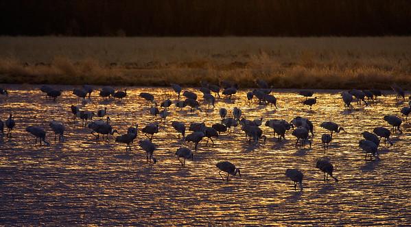 Sandhill Cranes Feeding at Sunset