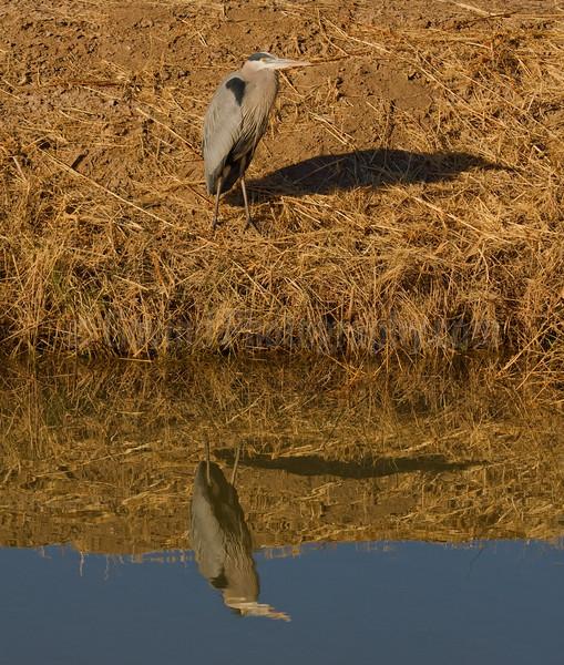 Resting Great-Blue heron
