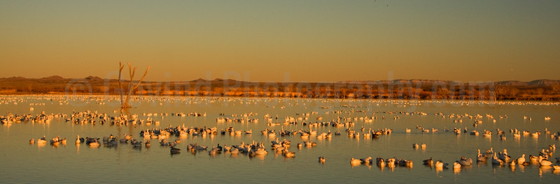 Snowgeese and Cranes Getting Ready to Roost