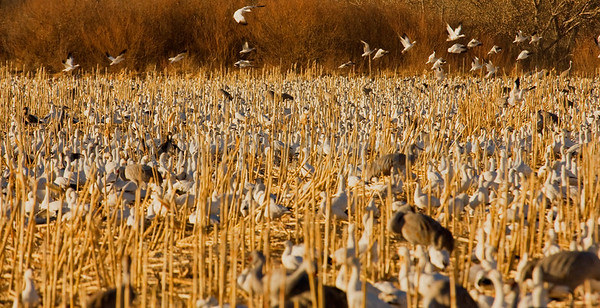 Feeding Snowgeese and Cranes