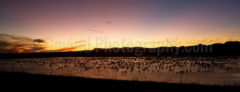 Sandhill Cranes Feeding at Dusk