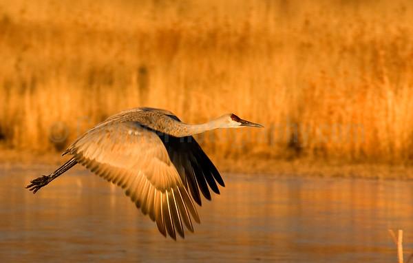 Early Morning Sandhill Crane Takeoff