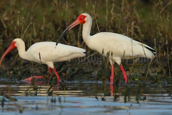 Feeding white ibises