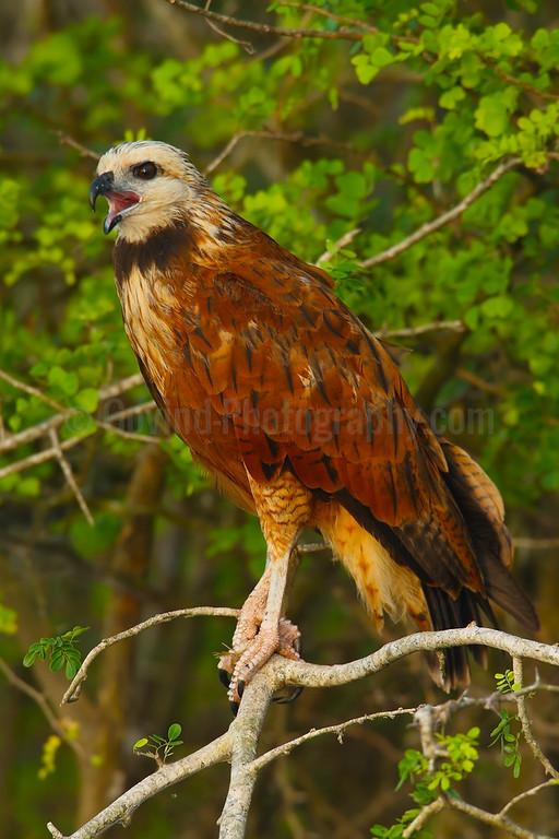 Black collered hawk calling