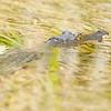 Lamanai (submerged crocodile)
