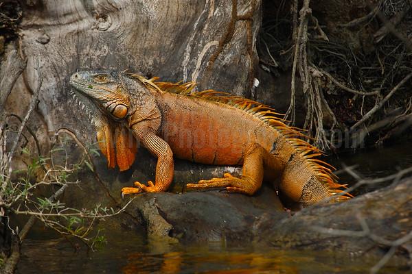 Male green iguana in breeding colors
