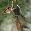 Neotropical cormorant drying its wings