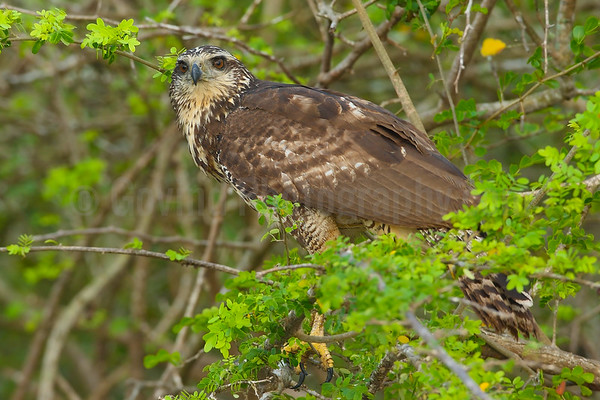 Juvenile great black hawk
