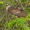 Juvenile great black hawk