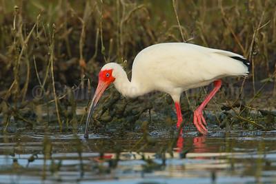 Feeding white ibis