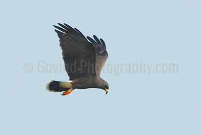 Snail kite hovering