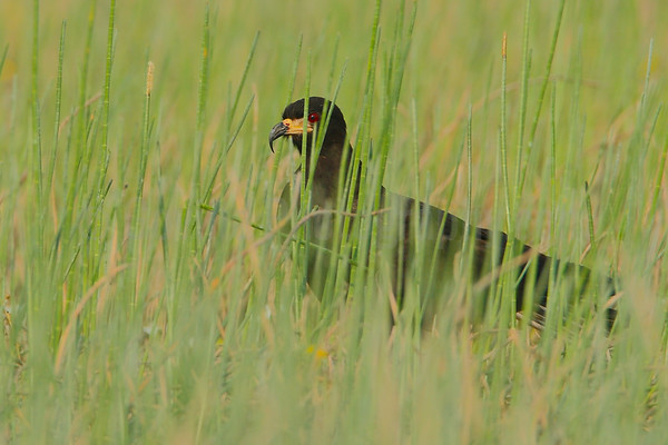 Snail kite in the rushes