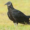 Common black vulture