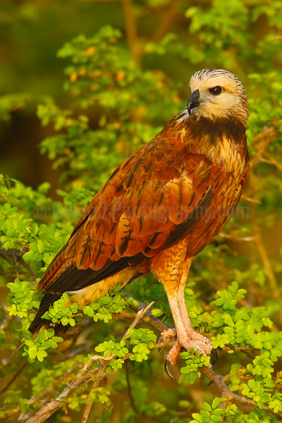 Black collered kite