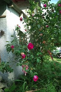 Les roses de la maison.