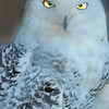 The bright yellow eyes of a great white owl (bubo scandiacus) otherwise known as a harfang or arctic owl