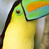 Detail of the eye and head of a rainbow toucan from south america.