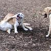 joba, buddy (bulldog), Hazel