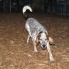 LULU (hound, pup)