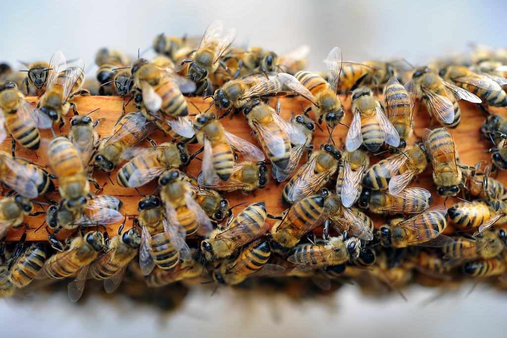 . Bees crawl on a beehive frame in David Jefferson\'s families\' avocado orchard in Somis, Tuesday, February 11, 2014. Jefferson is president of Bloom Honey, a Thousand Oaks-based raw honey purveyor with more than 1,000 beehives in California, Nevada and Arizona. Jefferson, whose family has large avocado and citrus farms in Ventura County, is preparing some hives to move to the Central Valley, where they will pollinate the state\'s almond crop. (Photo by Michael Owen Baker/L.A. Daily News)