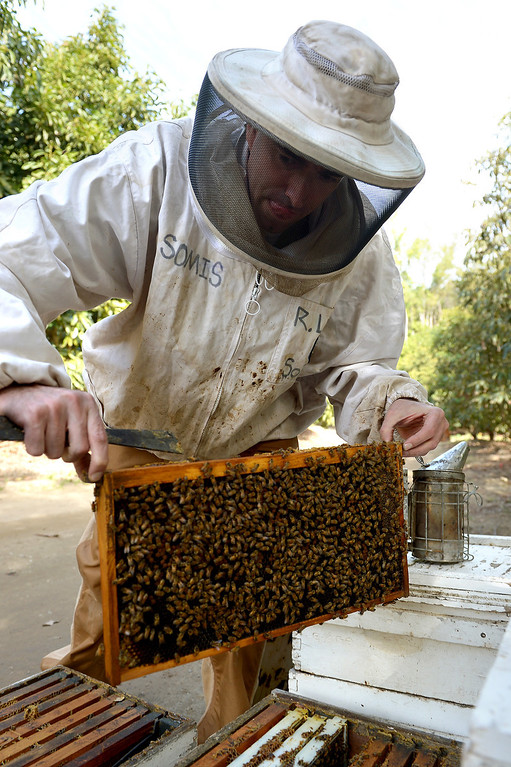 . David Jefferson extracts a frame from a beehive to look for the queen in his families\' avocado orchard in Somis, Tuesday, February 11, 2014. Jefferson is president of Bloom Honey, a Thousand Oaks-based raw honey purveyor with more than 1,000 beehives in California, Nevada and Arizona. Jefferson, whose family has large avocado and citrus farms in Ventura County, is preparing some hives to move to the Central Valley, where they will pollinate the state\'s almond crop. (Photo by Michael Owen Baker/L.A. Daily News)