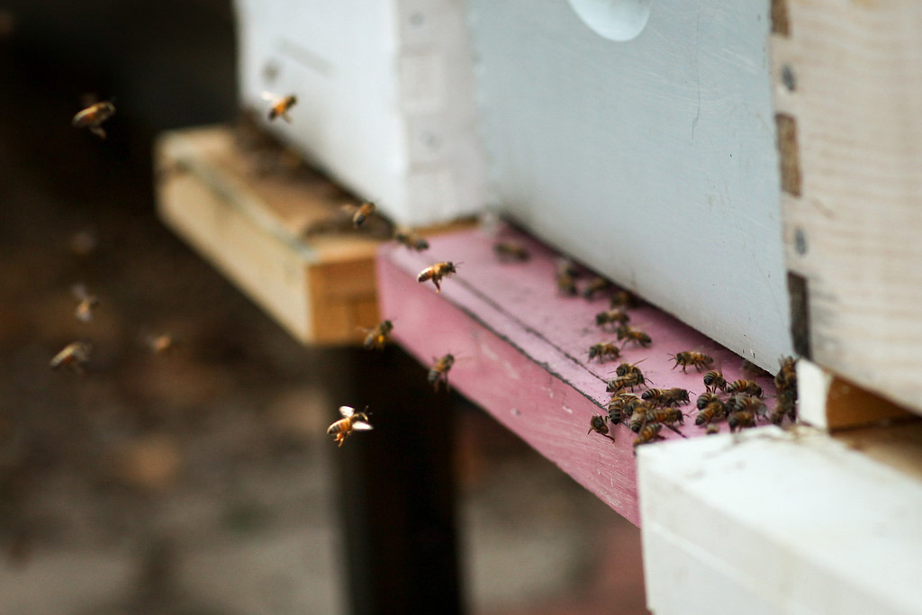 . Bees return to the hive loaded with pollen in the backyard of David Bock\'s Glassell Park home, Tuesday, February 25, 2014. (Photo by Michael Owen Baker/L.A. Daily News)