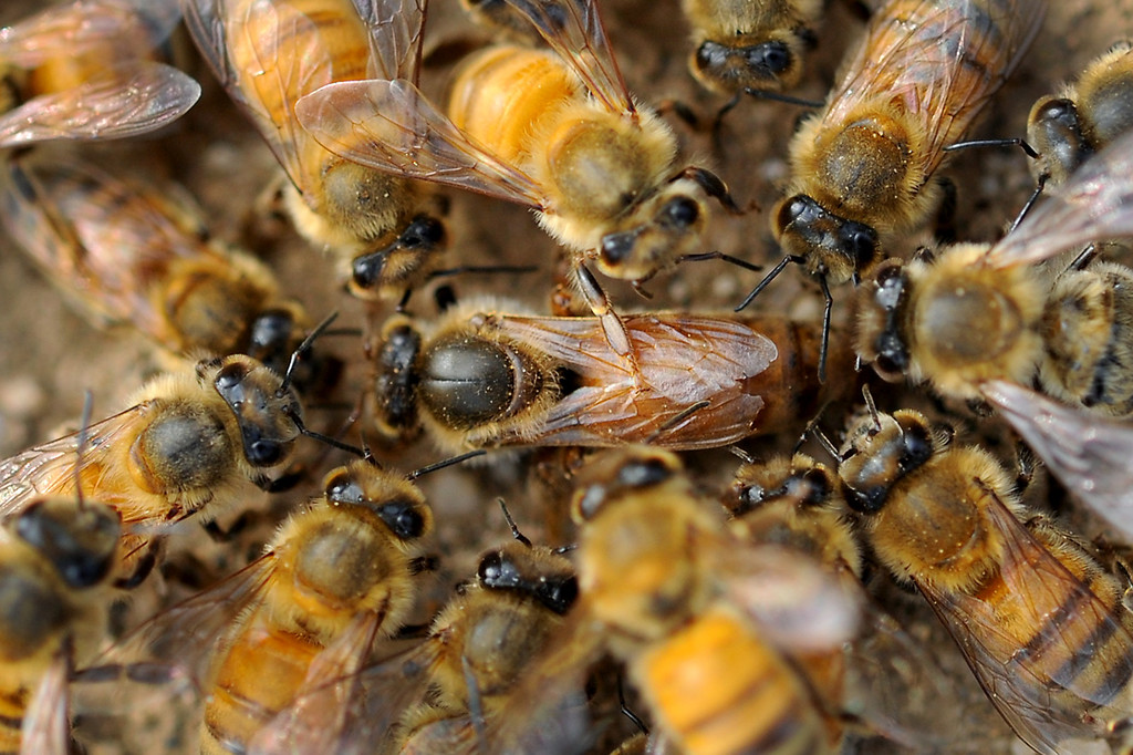 . In a rare sight, bees swarm and kill a queen that has been rejected by the hive in the Jefferson Farms avocado orchard in Somis, Tuesday, February 11, 2014. (Photo by Michael Owen Baker/L.A. Daily News)