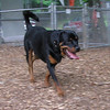 BEAU (new rottie w  tail) 2