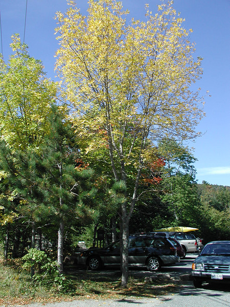 THE HARBINGER MAPLE<br /> <br /> This little guy is one of the very first trees to change every fall. This photo does him no justice.
