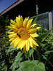SUNFLOWER WITH BEE<br /> <br /> A little closer view with a visitor.