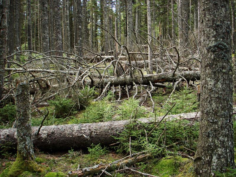Blowdown Forest