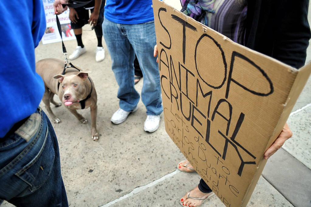 . Supporters of Indy the pit bull gathered at Van Nuys court Tuesday, June 10, 2014. Suspect Carlos Duarte was in court for allegedly abandoning the badly burned dog in Winnetka alley on July 4th.  (Photo by Hans Gutknecht/Los Angeles Daily News)